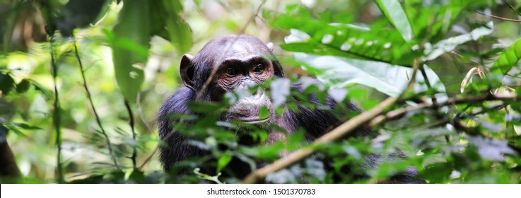 Male chimpanzee hiding in the Kibale Forest National Park in Western Uganda. The common chimpanzee (Pan troglodytes) is an endangered great ape that inhabits the forests of West and Central Africa.