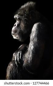 male chimpanzee light and shadow portrait/Chimpanzee Light & Shadow