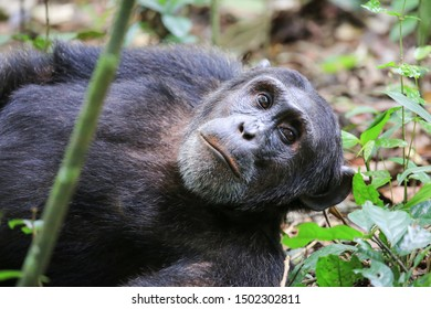 Male chimpanzee resting in the Kibale Forest National Park in Western Uganda. The common chimpanzee (Pan troglodytes) is an endangered great ape that inhabits the forests of West and Central Africa.
