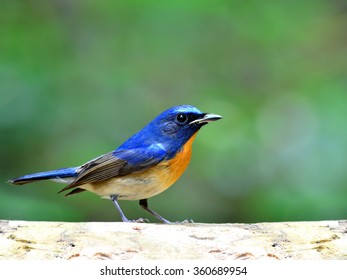 The male of Chinese Blue Flycatcher (Cyornis glaucicomans) the beautiful blue bird standing on the bright and white log with nice blur green background