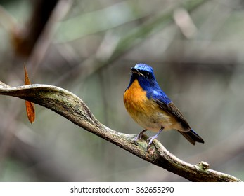 Male of Chinese Blue Flycatcher (Cyornis glaucicomans) the beautiful orange and blue bird standing on the branch showing its nice chest orange feathers