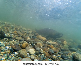 Male Chinook Salmon On His Redd