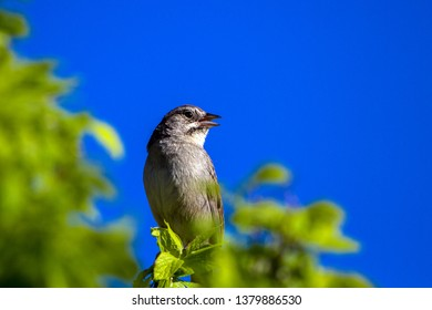 Male Chipping Sparrow sings in spring in Organ Mountains-Desert Peaks National Monument in New Mexico