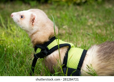 Male cinnamon pet ferret in a harness playing in the garden