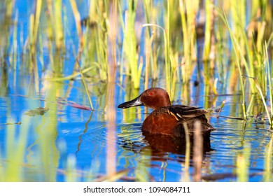 Male Cinnamon Teal in the marsh at Alamosa National Wildlife Refuge in southern Colorado
