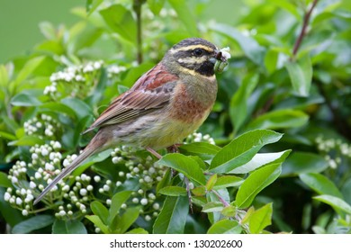 Male Cirl Bunting (Emberiza cirlus) with worms in her beak.