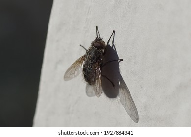 Male cluster fly (Pollenia) family Calliphoridae on a white, dirty window frame in the sun. Late winter, spring. Netherlands, March
