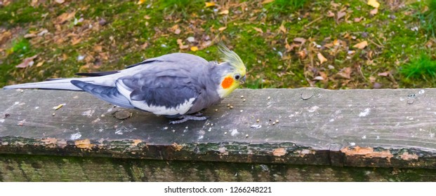 Male cockatiel eating seeds on a wooden plank, popular pet in aviculture, a small cockatoo from australia