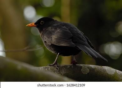 A male Common Blackbird (Turdus merula) perched on a tree branch.