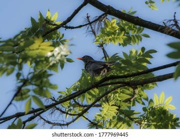 A male common blackbird (Turdus merula), also called Eurasian blackbird in the foliage of a tree in full sun.