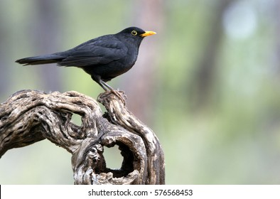 Male of Common blackbird. Turdus merula