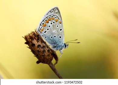 Male common blu butterfly macro