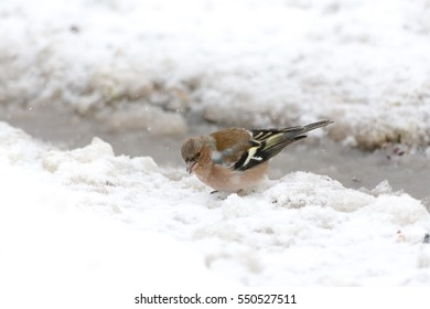 Male common chaffinch collecting food from the snow