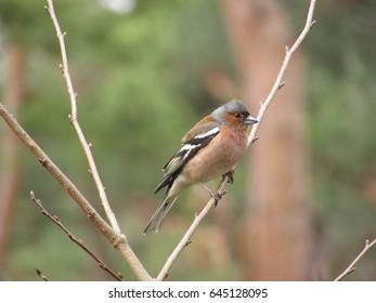 male Common chaffinch, Fringilla coelebs,