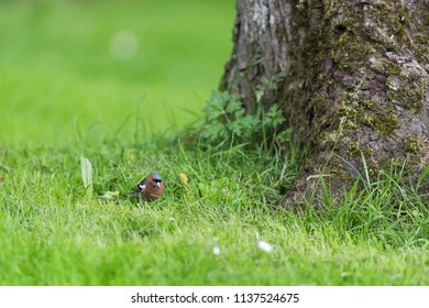 Male common chaffinch in grass in the garden