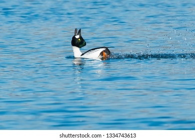 A male Common Goldeneye is swimming in the open water performing a courtship ritual. Tommy Thompson Park, Toronto, Ontario, Canada.