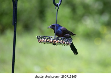 "A male common grackle on a feedeer in our backyear. This bird differs from the ""boat tailed"" grackle in that its tail feathers are much shorter than those on the boat tailed grackle."