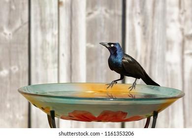 A male Common Grackle sampling the water at a backyard bird bath.