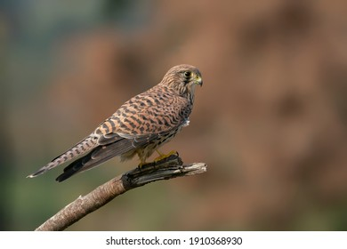Male Common Kestrel (Falco tinnunculus) on a branch. Gelderland in the Netherlands. Bokeh background.