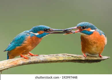 Male common kingfisher passing catch to female