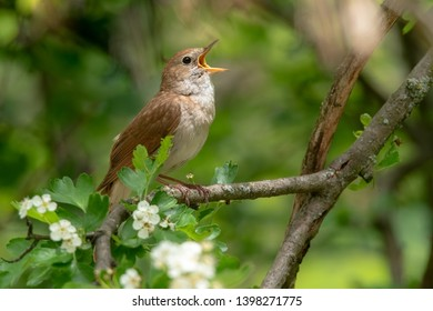 Male Common nightingale (Luscinia megarhynchos) sits on a branch and sings. Singing bird sitting on blossoming twigs, a powerful voice, night spring singer, lives a hidden life, flowery tree with bird