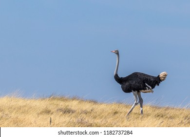 A male common ostrich ( Struthio Camelus) walking in the blue sky, Etosha National Park, Namibia.
