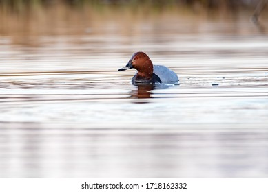 Male Common pochard (Aythya ferina) in beautiful small finnish pond in the soft evening lights