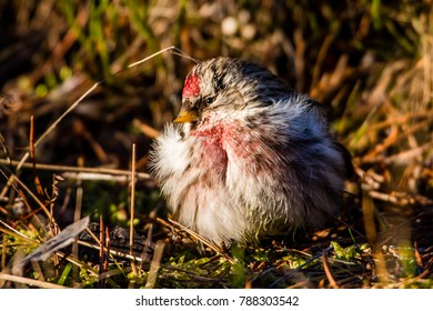 The male common Redpoll (Carduelis flammea) warming up in the sun a cold january day in Uppland, Sweden