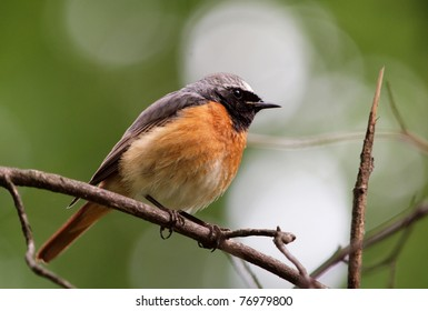 Male Common Redstart (Phoenicurus phoenicurus)