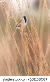 Male common reed bunting (Emberiza schoeniclus) sitting between reed.