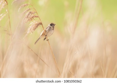 Male common reed bunting (Emberiza schoeniclus) sitting on reed stem.