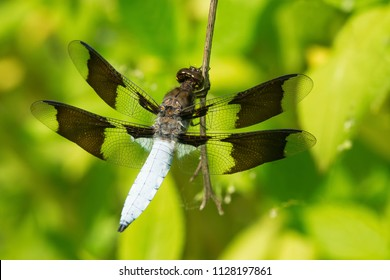 Male Common Whitetail Dragonfly perched on a plant stem. High Park, Toronto, Ontario, Canada.