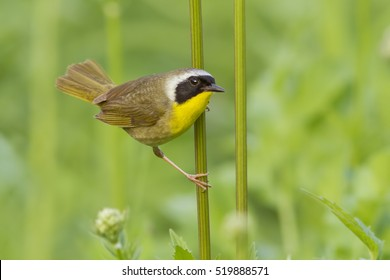 Male Common Yellowthroat (Geothlypis trichas) in spring