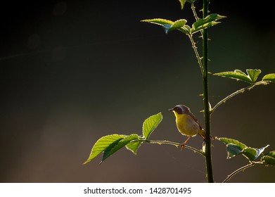 A male Common Yellowthroat glows in the morning sun while perched on a thorny branch with big and bright green leaves and a dark background.