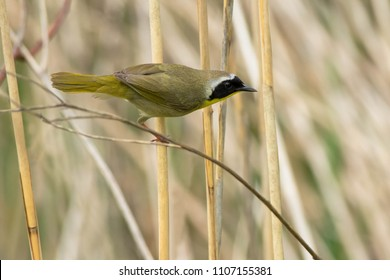 Male Common Yellowthroat perched on a dead reed looking for a meal. Rouge National Urban Park, Toronto, Ontario, Canada.