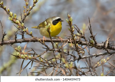 A male Common Yellowthroat is perched on a branch. Ashbridges Bay Parh, Toronto, Ontario, Canada.