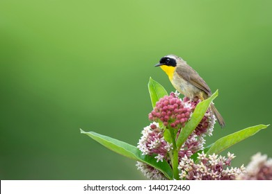A male Common Yellowthroat perched on top of a purple clump of Milkweed flowers in soft light with a smooth green background.