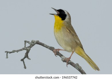 Male Common Yellowthroat perched on a branch singing.