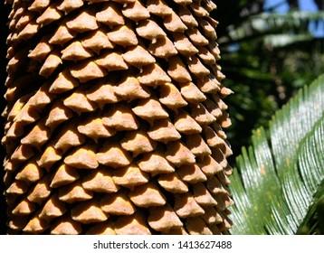 Male cone of sago palm or king sago or sago cycad or Japanese sago palm (Cycas revoluta)