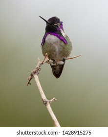 A male Costa's hummingbird sits on a stick on the Palm Canyon Trail, Borrego Springs, California
