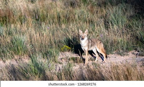 A male Coyote on the hunt