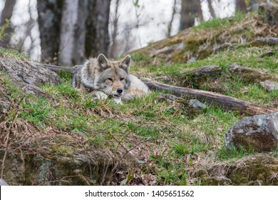 Male coyote portrait in spring