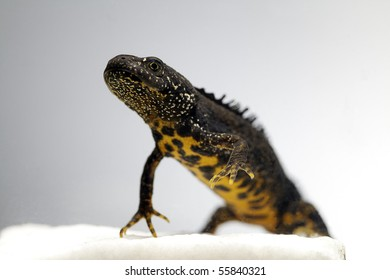 male crested newt adult close up triturus cristatus beautiful endangered amphibian close up of adult animal underwater