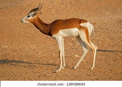 Male critically endangered dama gazelle (Nanger dama), Northern Africa