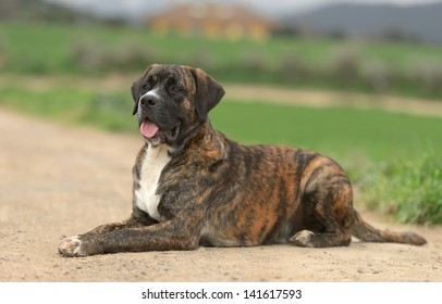 Male Crossbreed dog of Labrador and Boxer