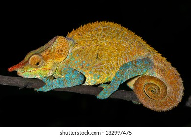 Male Cryptic or Blue-legged Chameleon (Calumma crypticum) rests on a branch in the wilds of Madagascar (Rain Forest of Ranomafana). Incredible vibrant colors at night while sleeping. Tree, foliage.