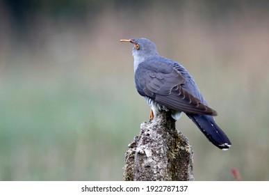 Male cuckoo displaying and feeding