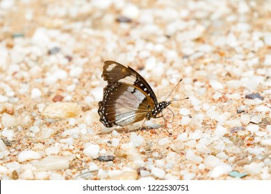 Male Danaid eggfly Butterfly Also called mimic, diadem on sand in Tanzania, East Africa (Hypolimnas misippus)