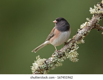 A male dark-eyed junco perches on a moss and lichen covered branch