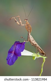 A male dead leaf mantis is sitting on top of a morning glory flower.